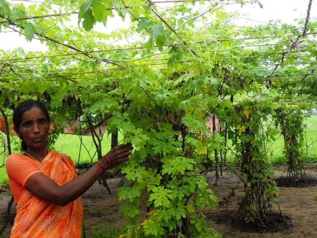 Many among the 40 women farmers are now growing bitter gourd in rainy season at Pilarichettipalem village in Krishna District./ Photo: T. Appala Naidu / The Hindu