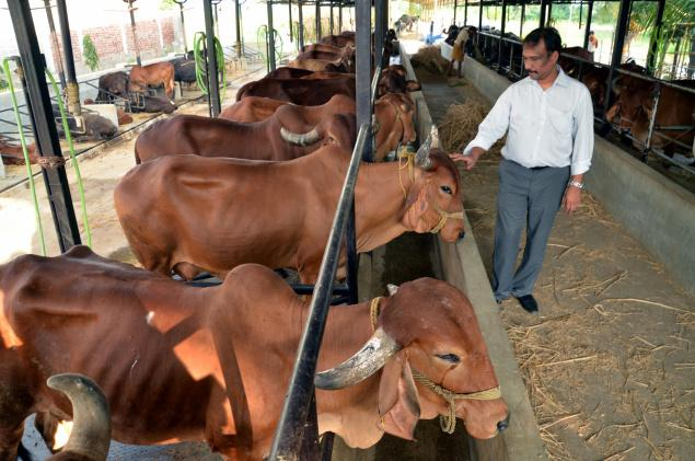 G. Sudarshana Rao at his farm with Gir breed cows at Veerankilakulu in Krishna district./ Photo:V. Raju / The Hindu