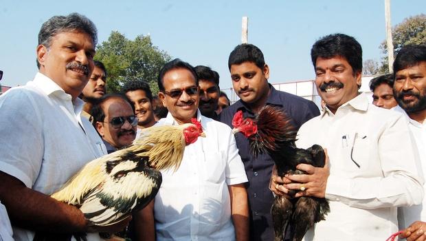 Vijayawada MP Kesineni Srinivas alias Nani (left) and Vijayawada Central MLA Bonda Umamaheswara Rao take part in a cockfight at Gayatri Nagar in Vijayawada on Wednesday. | Express Photo