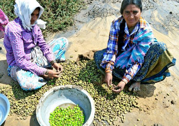 Women mangrove plant seed collectors engaged in work at Sorlagondi Reserve Forest in Krishna district.— Photo: T. Appala Naidu