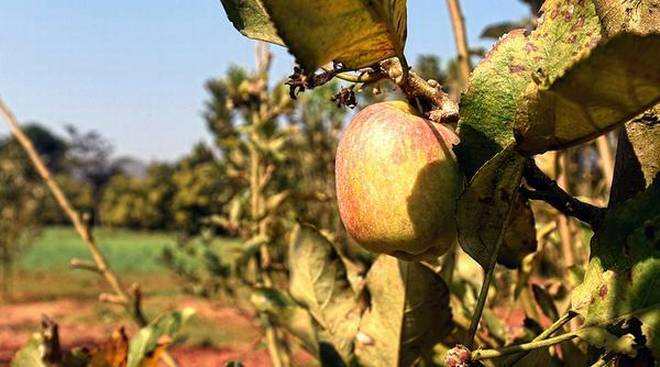 Small & beautiful: An apple tree at the Regional Agricultural Research Station in Chintapalli. | Photo Credit: K_R_DEEPAK