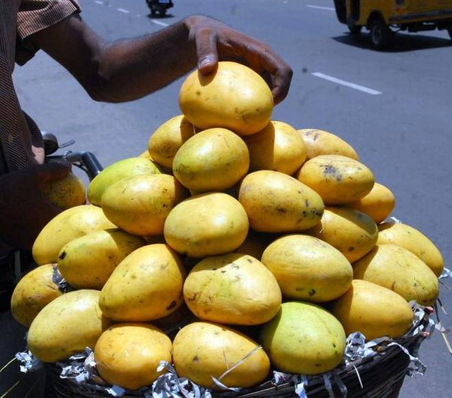 "The Andhra Pradesh government is the registered proprietor of the GI tag for mangoes, often hailed as ""the king of fruits."" Photo: 