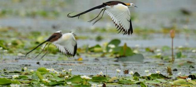 Pheasant-tailed Jacana flying at Kondakarla Ava, one of the largest freshwater lakes in the country, near Anakapalle in Visakhapatnam district.K.R. DEEPAK